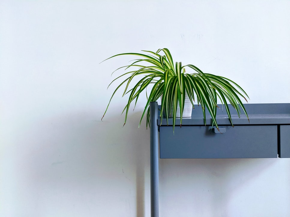 spider plant for faux greenery home interior design